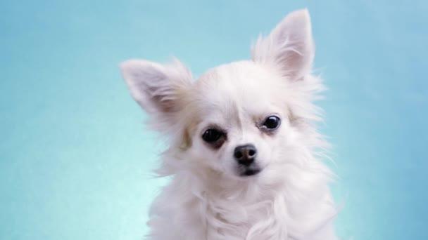 Aranyos, széles szemű csivava, elszigetelt kék háttérrel a stúdióban. Vicces Chihuahua oldalra fordítja a fejét, aztán a másik oldalra. Nagyon kíváncsi és kíváncsi.