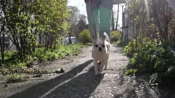 Schöne niedliche Chihuahua-Hund beim Spaziergang im Stadtpark, gehen Sie voran Besitzer an der Leine, Zeitlupe erschossen. Hundeauslauf auf dem Weg. Blendung der Sonne