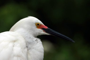 Portrait of Snowy Egret in breeding plumage and coloration in Saint Augustine, Florida.