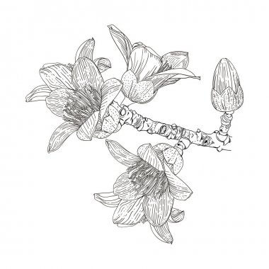 Vector drawing of a flowering branch Bombax ceiba