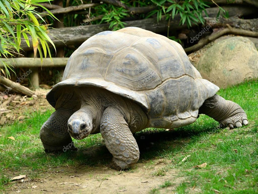 Tartaruga gigante in movimento foto stock luciopepi for Tartaruga prezzo