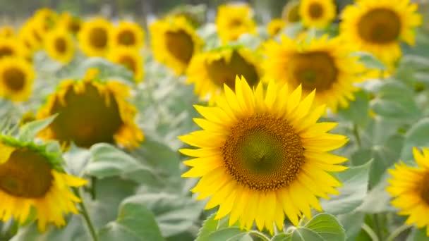 Spousta slunečnice houpat ve větru