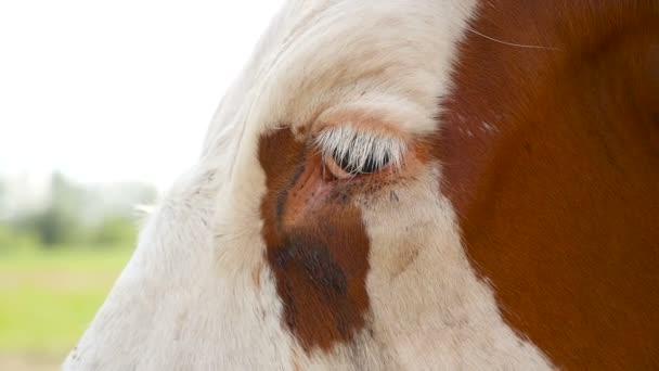 Detail hlavy hnědá kráva na louce