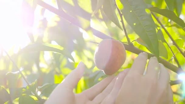 Kézzel szedett érett őszibarack fa őszibarack.