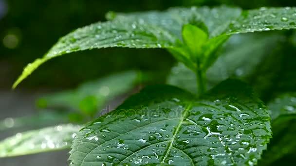 Dešťové padající na zelených listech. Makro fotografování