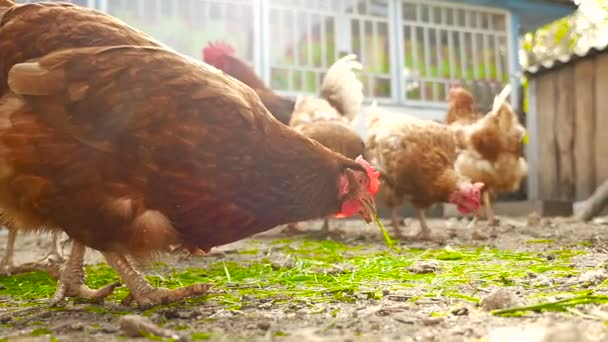 Chickens eat grass and grain