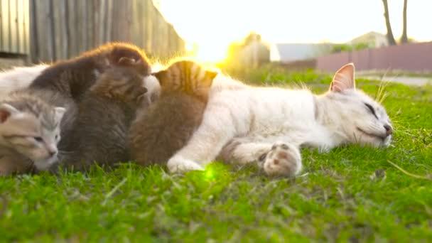 Matka kočka krmení koťat 4k
