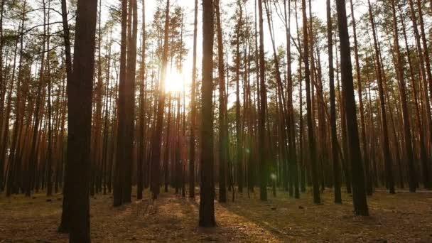 Jasné sluneční paprsky v borovém lese. Krásný západ slunce. Kamera se pohybuje mezi stromy. Zpomalený pohyb