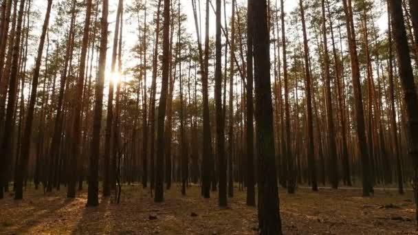 Mezi stromy svítí slunce. Krásný borový les. Nádherné místo. Kamera se pohybuje doprava. Zpomalený pohyb