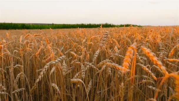 Egy nagy mező sárga búzával. Kora reggel. A kamera előre megy. Lassú mozgás.