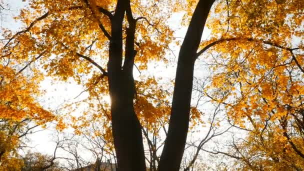 The suns rays shine through the autumn leaves of trees. Autumn time. Slow motion