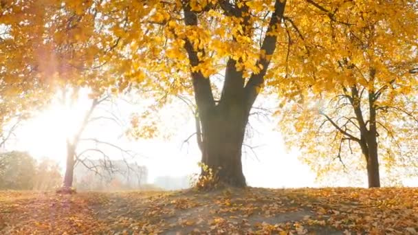 The rays of the sun shine through the trees. Beautiful autumn park. Camera in motion