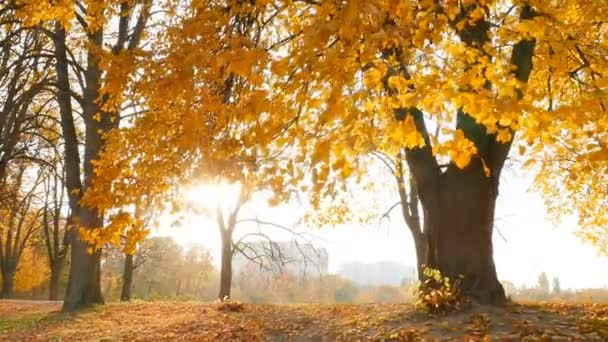 Bright rays of the sun in the autumn park. Yellow trees with crumbling foliage. Slow motion