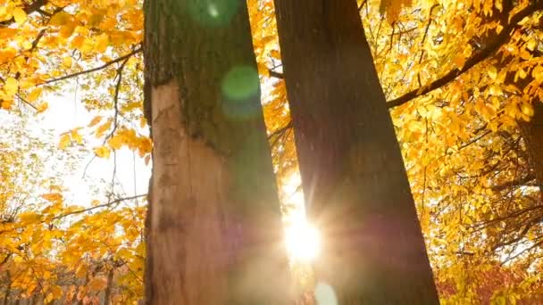Yellow autumn forest. Bright glare of the sun shines through the trees. Camera in motion