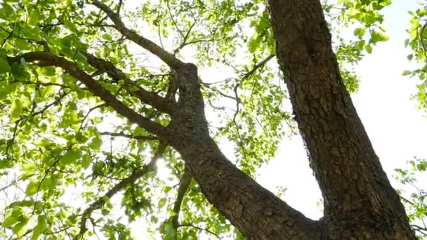 Egy zöld levelű fa. A nap ragyogó sugarai. Lassú mozgás.