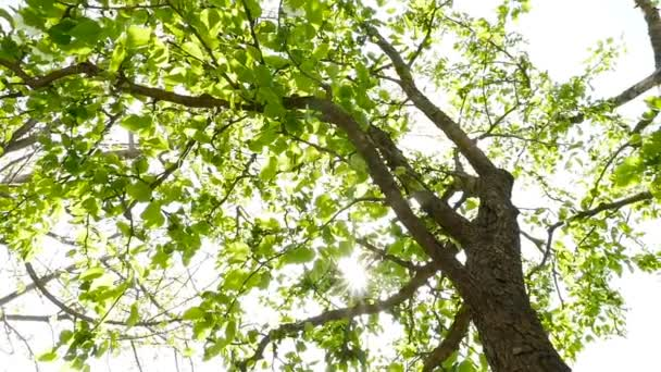 Sun shines through the green leaves of a tree. Camera moves around