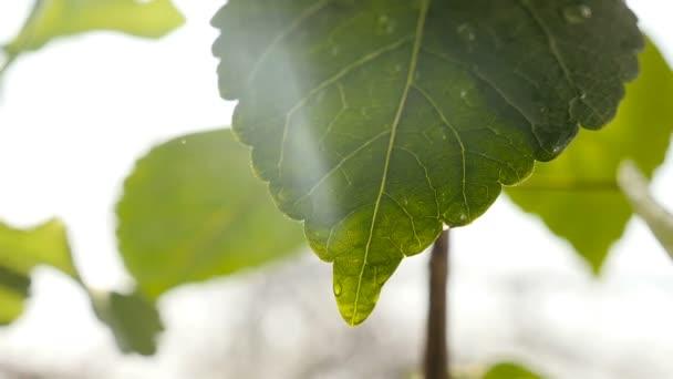 Zpomalený pohyb vody na zeleném listu. Detailní záběr