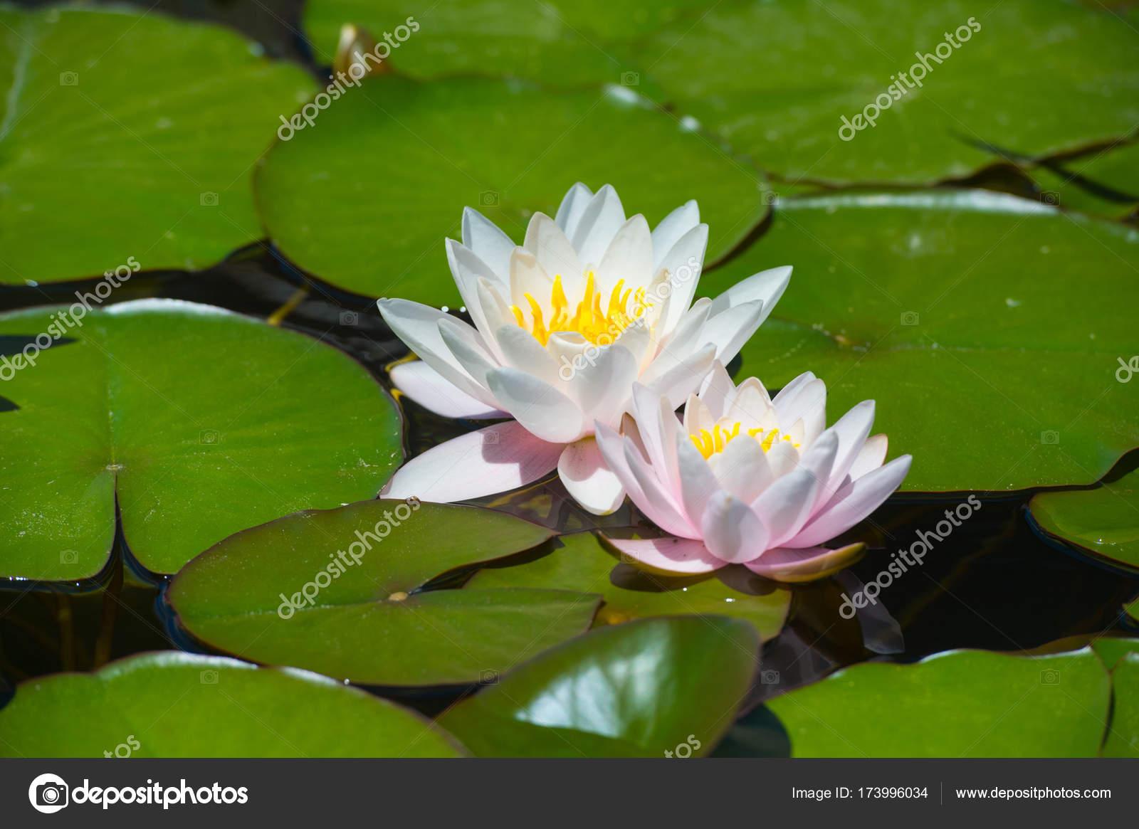 Beautiful Waterlilies Or Lotus Flowers In Pond Pink Lily Nymphaea