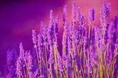 Levendula - lila nyári levendula mező felett megtekinthető naplementére. A francia Provence-Valensole közelében lavanda területén illatos virágcsokor