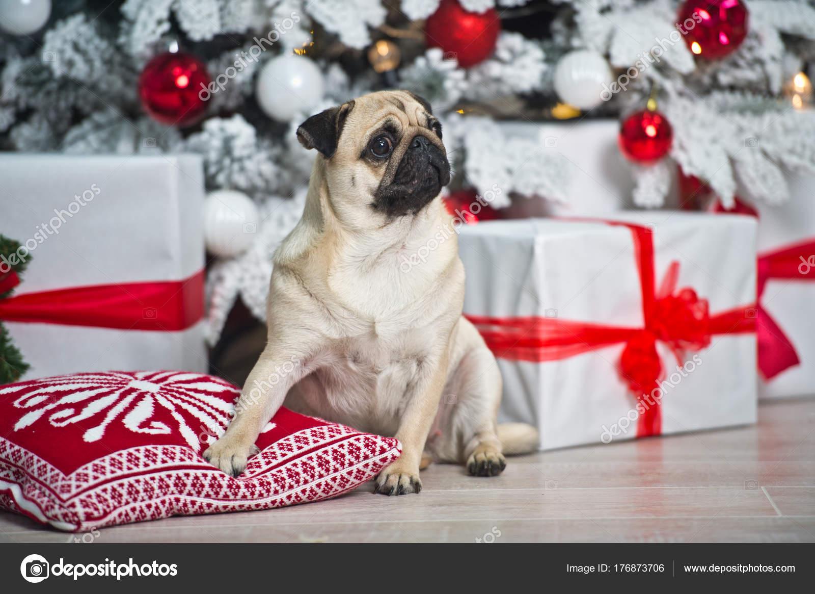 Mops Bilder Weihnachten.Hund Mops Auf Stuhl Mit Präsentiert Konzepte Von Weihnachten Jahr