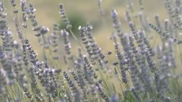 Lavendelblüten. Lavendelfeld im Sommer. Aromatherapie. Naturkosmetik.