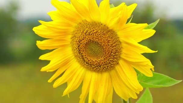 krásná žlutá slunečnice houpe ve větru zpomalení detailní záběr