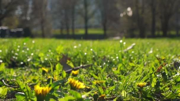 pampelišky rostou v zelené trávě proti rozmazaným kapkám rosy
