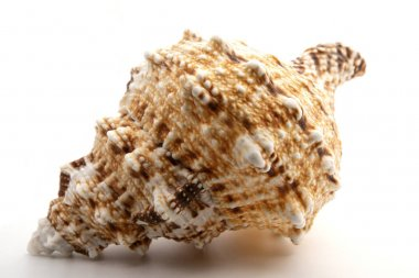seashell from the Mediterranean sea isolated on white background