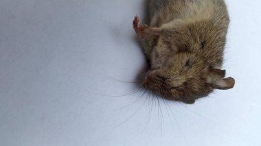 Closeup of cute little mouse