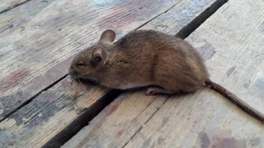 House mouse (Mus musculus). Mouse on wooden floor