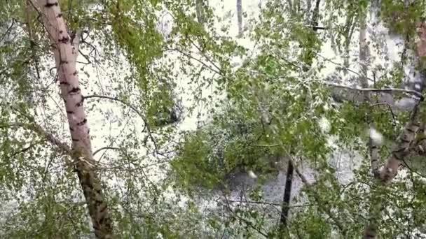 Břízy se zelenými listy pod sněhu.