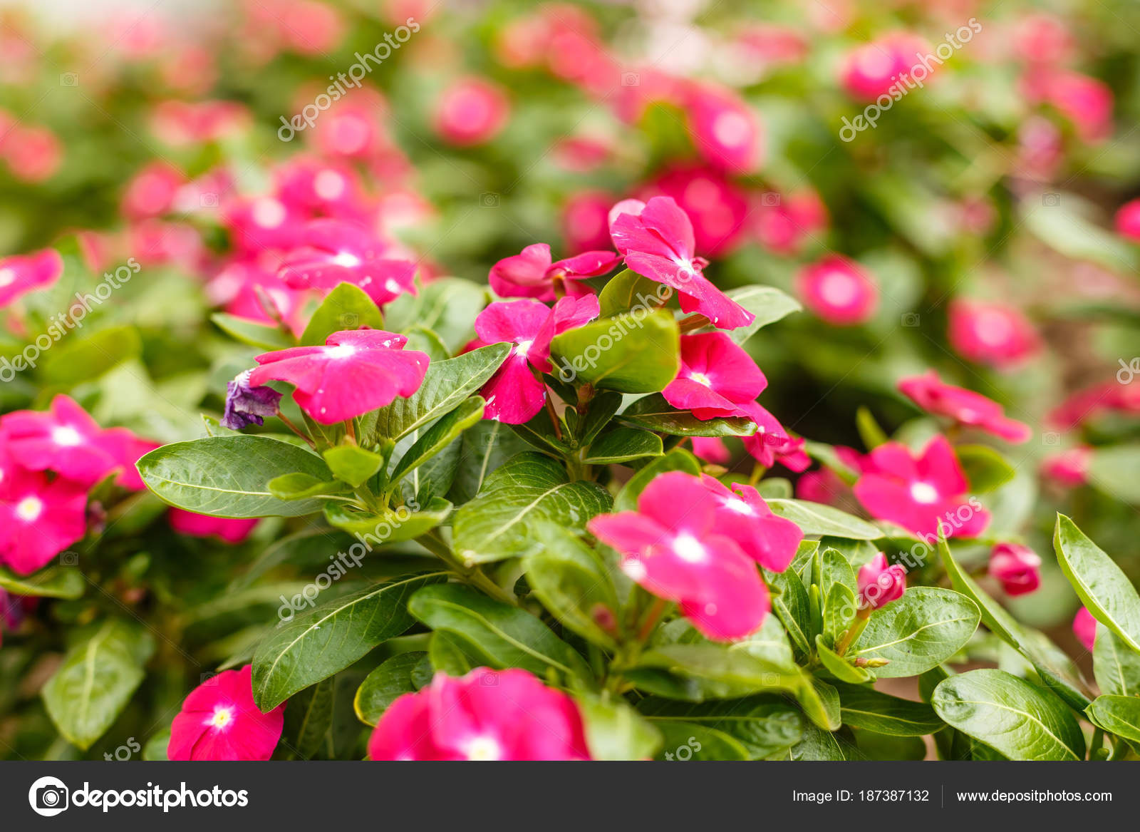 Beautiful red vinca flowers in a garden at summer sunny day clos beautiful red vinca flowers in a garden at summer sunny day clos stock photo izmirmasajfo