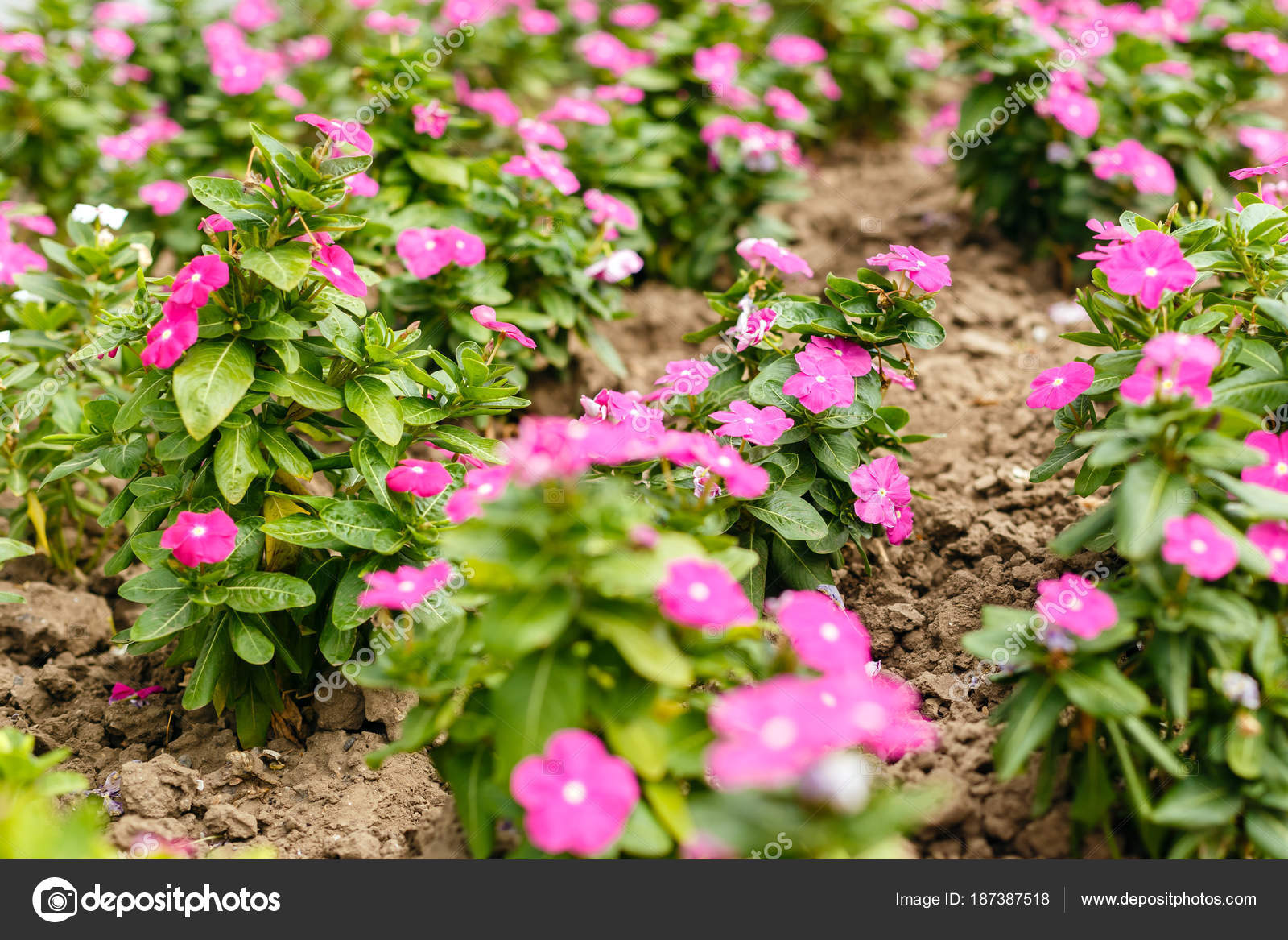 Beautiful red vinca flowers in a garden at summer sunny day clos beautiful red vinca flowers in a garden at summer sunny day clos stock photo izmirmasajfo Gallery