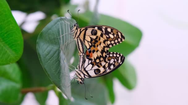 Two butterflies spread their wings on a background with green foliage, close-up. Butterflies mate. Copy space.