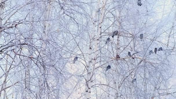 graue Tauben standen auf einem Ast mit weißem Schnee. ein Schwarm Vögel aus nächster Nähe. Tiere in der Wintersaison. frostige Bäume im frostigen Winter.