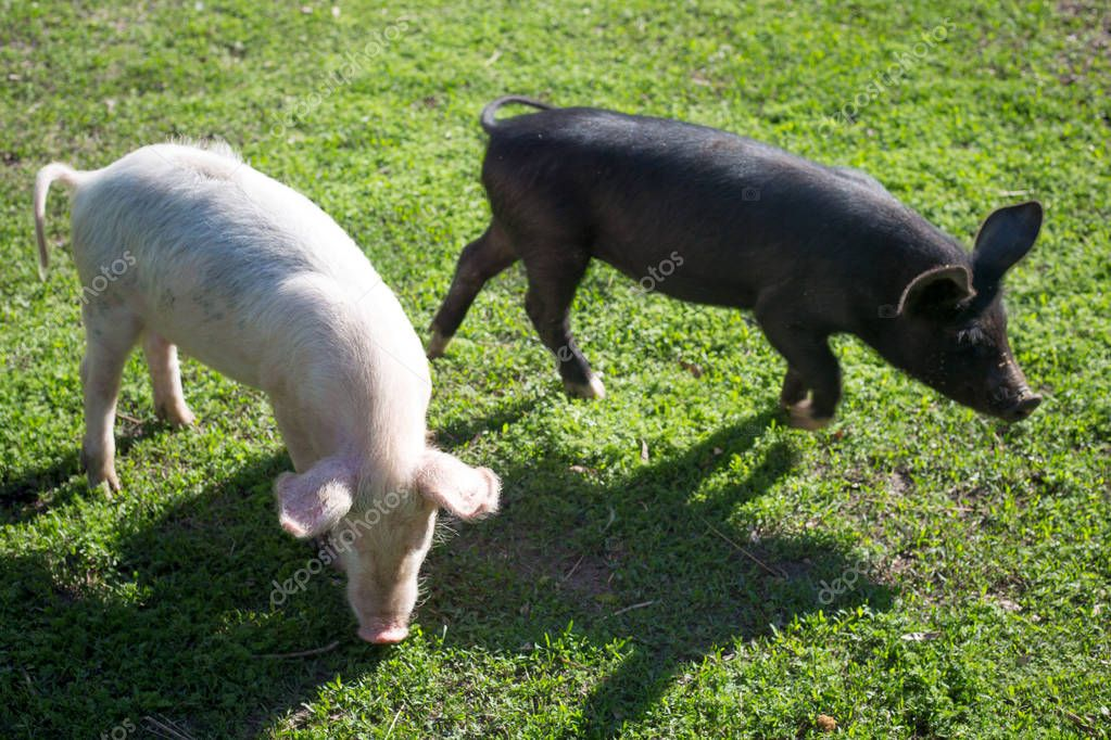 Pigs on geen grass