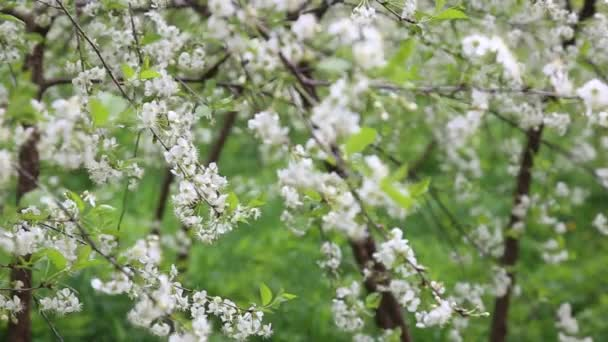 Cherry branch with flowers in bloom in spring. Beautiful japanese tree branch with cherry blossoms. White. Spring flowers. Cherry. Sakura. Background.