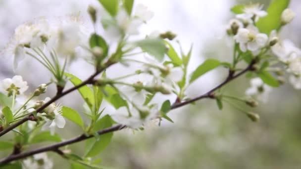 Cseresznyefa virággal tavasszal. Gyönyörű japán faág cseresznyevirágokkal. Fehér. Tavaszi virágok. Cseresznye. Sakura vagyok. Háttér.