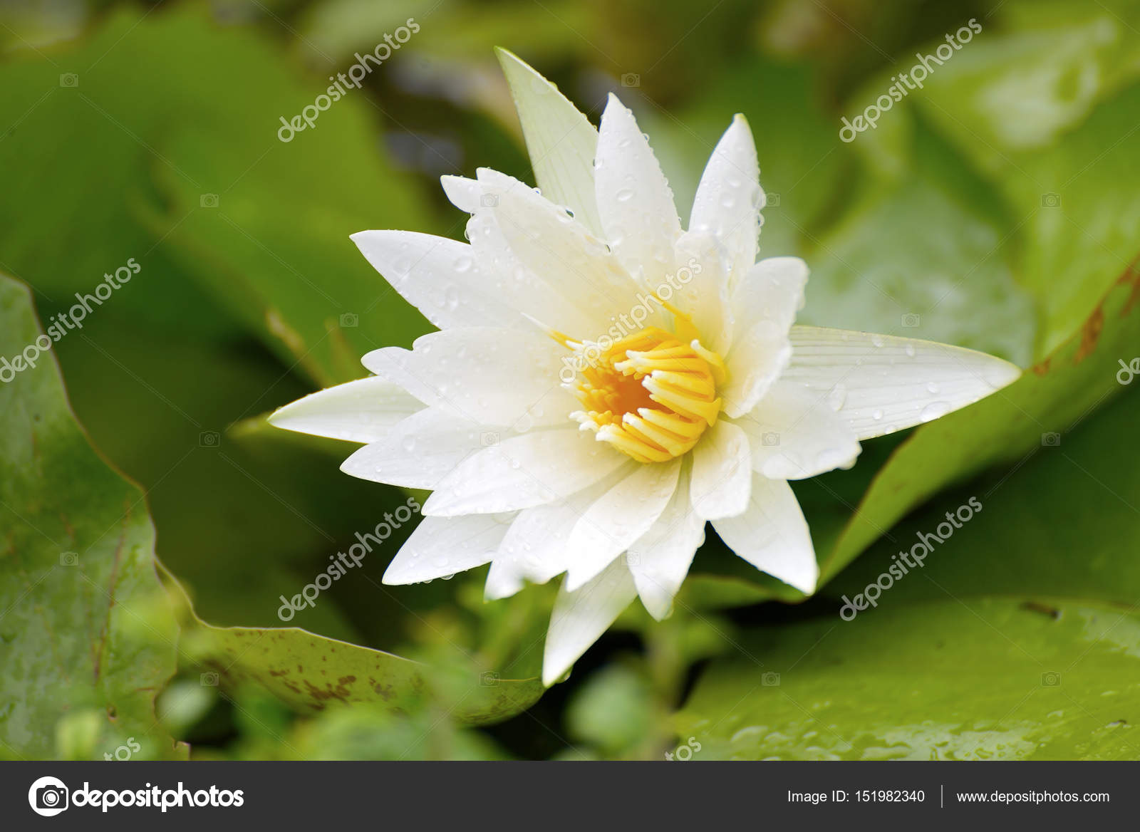 White lotus white flower lotus flower of buddha stock photo lotus flower of buddha stock photo izmirmasajfo