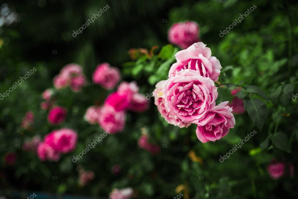 Pink roses in green garden