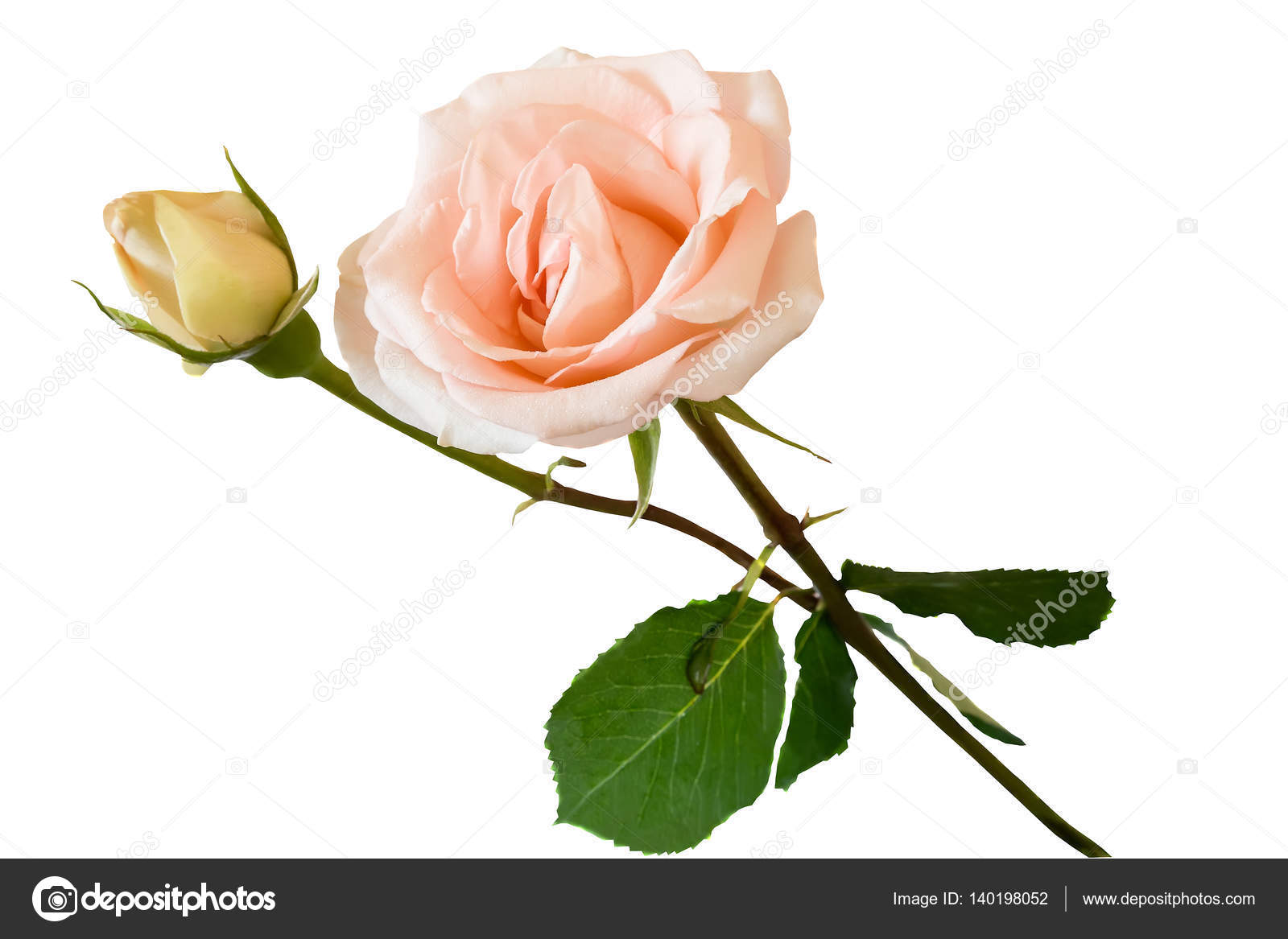 Flower Pale Pink Rose With Leaves On A White Background Stock