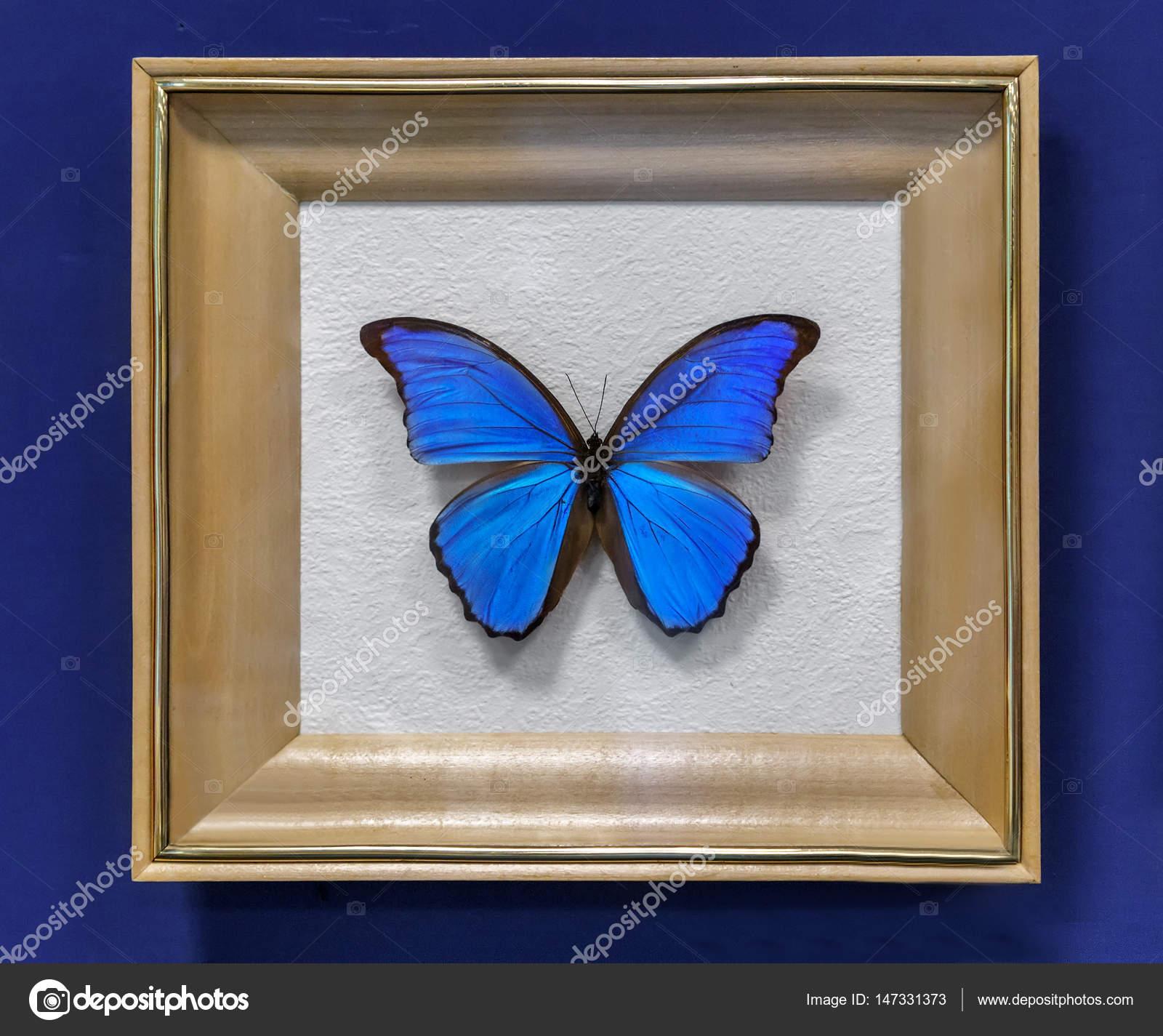 Gran mariposa tropical, el Morpho didius — Foto de stock ...