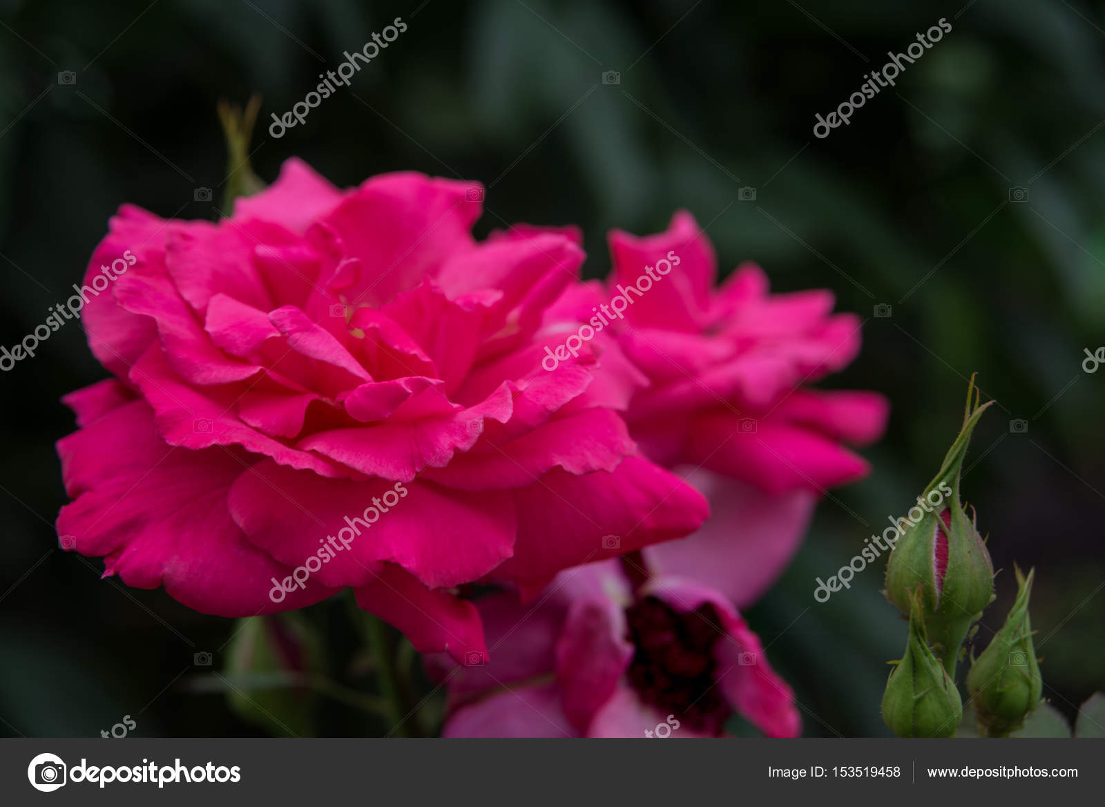 Pink roses outdoors stock photo epitavi 153519458 beautiful big pink roses outdoors close up on a dark background photo by epitavi izmirmasajfo