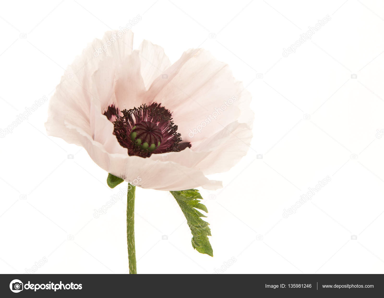 Blooming White Poppy Flower Isolated On A White Background Stock