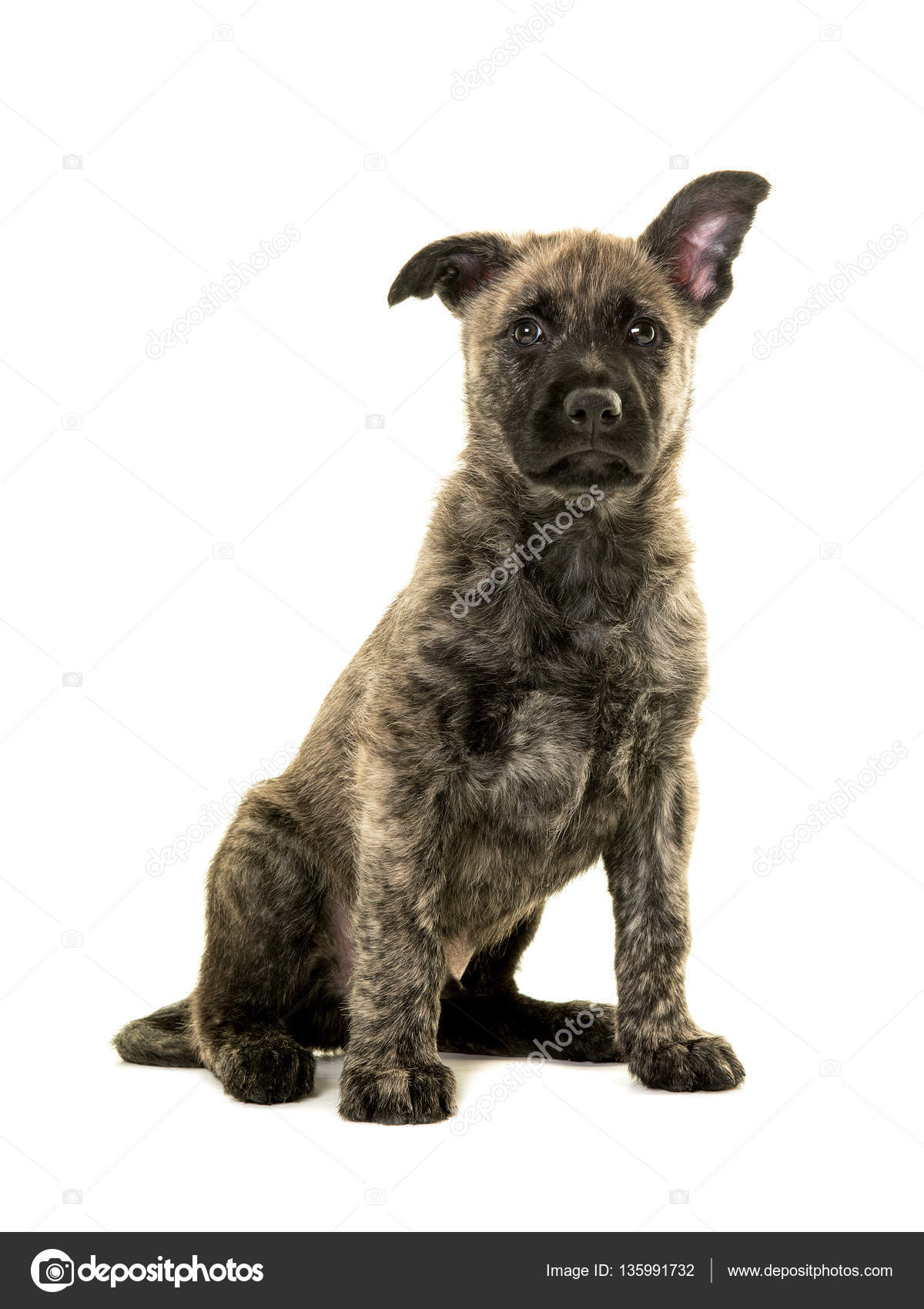 Cute Wirehaired Dutch Shepherd Puppy With One Ear Up Stock Photo