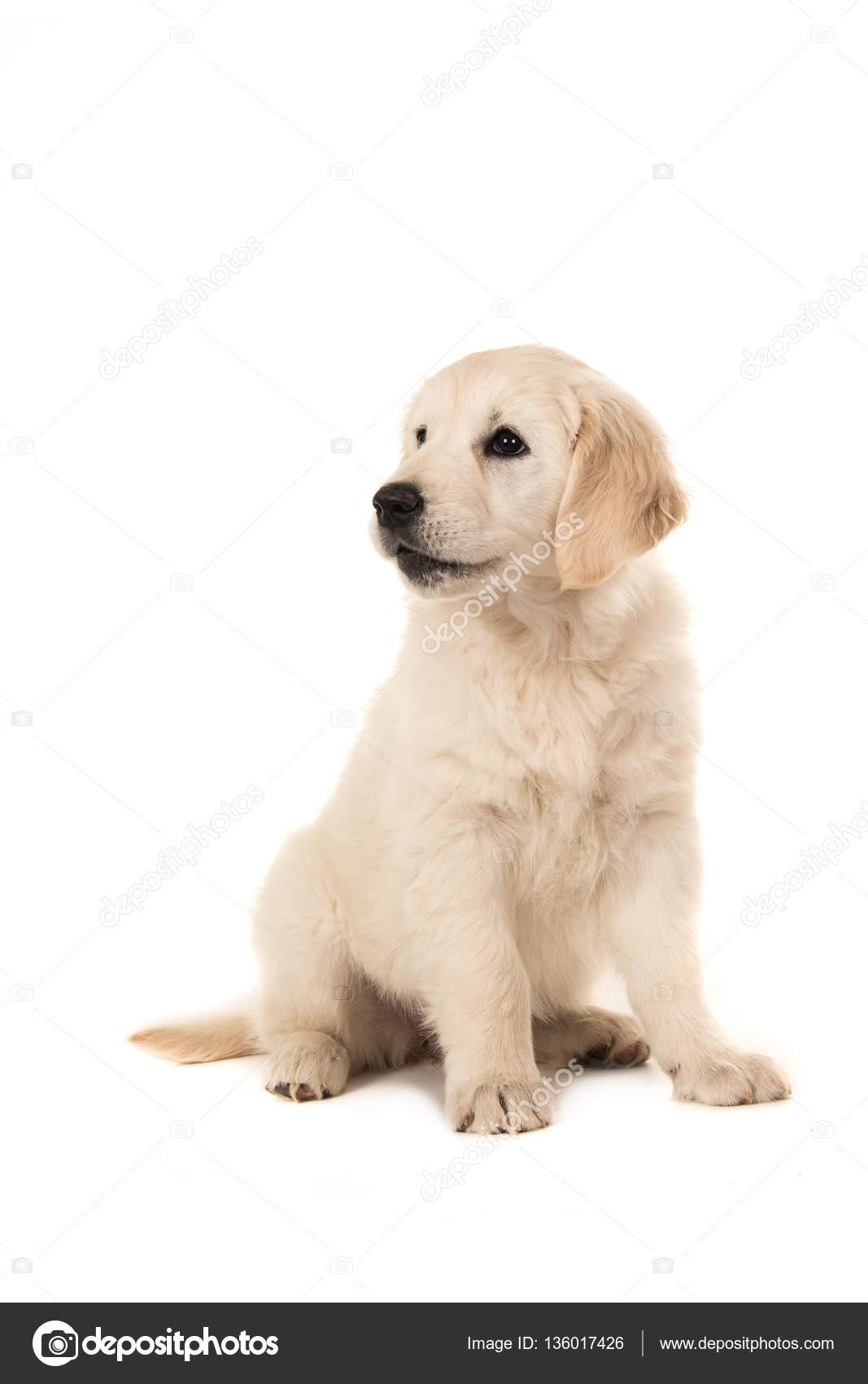 Yavru Beyaz Golden Retriever foto