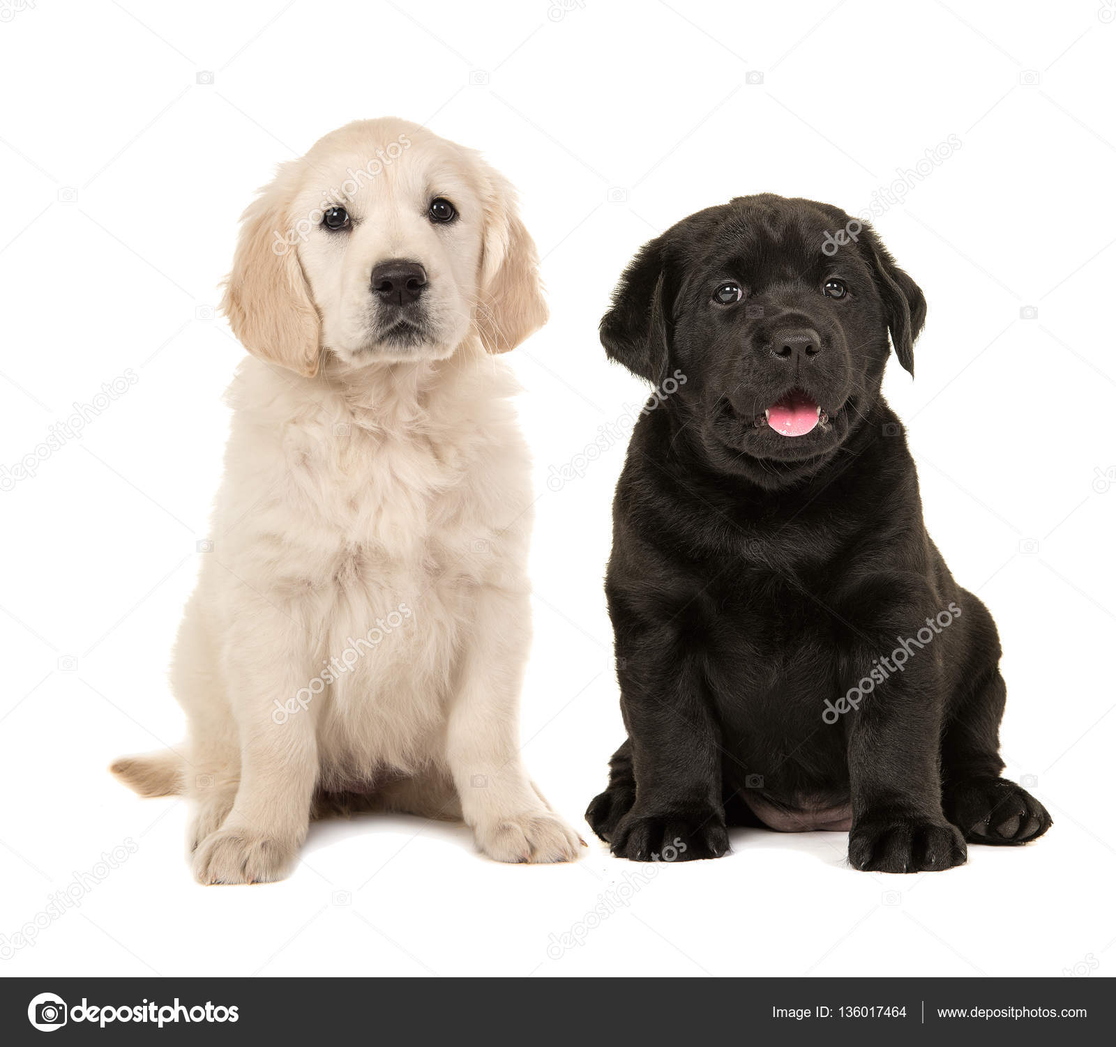 Cute Blonde Golden Retriever Welpe Und Schwarze Labrador Retriever
