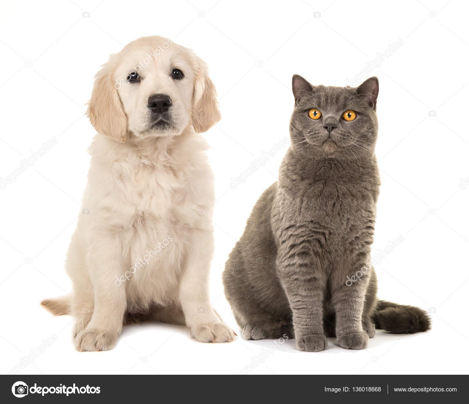 Fotos Cachorros De Perros Y Gatos Rubia Golden Retriever