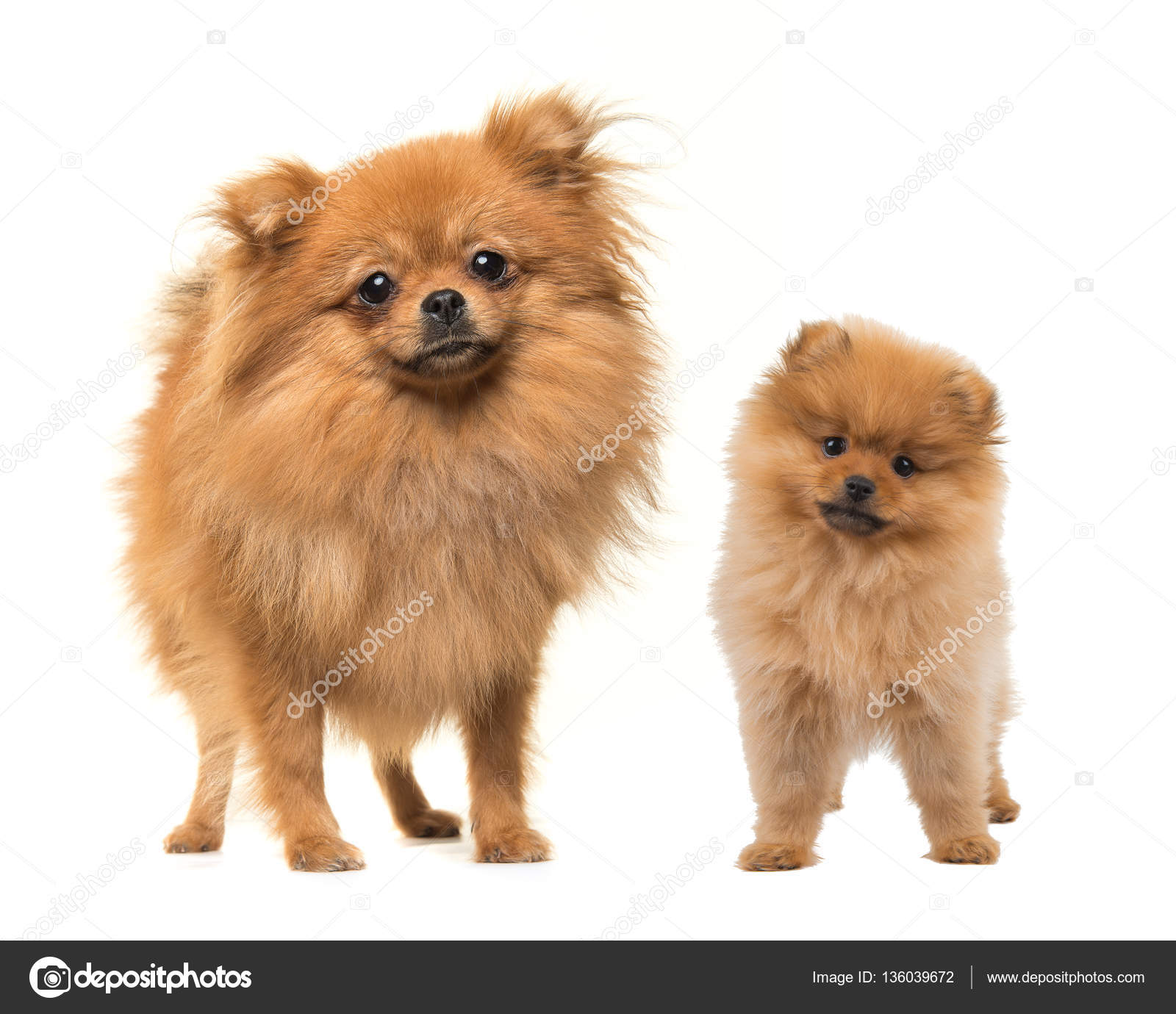 pomeranian adults adult and puppy standing pomeranian dogs stock photo 3477