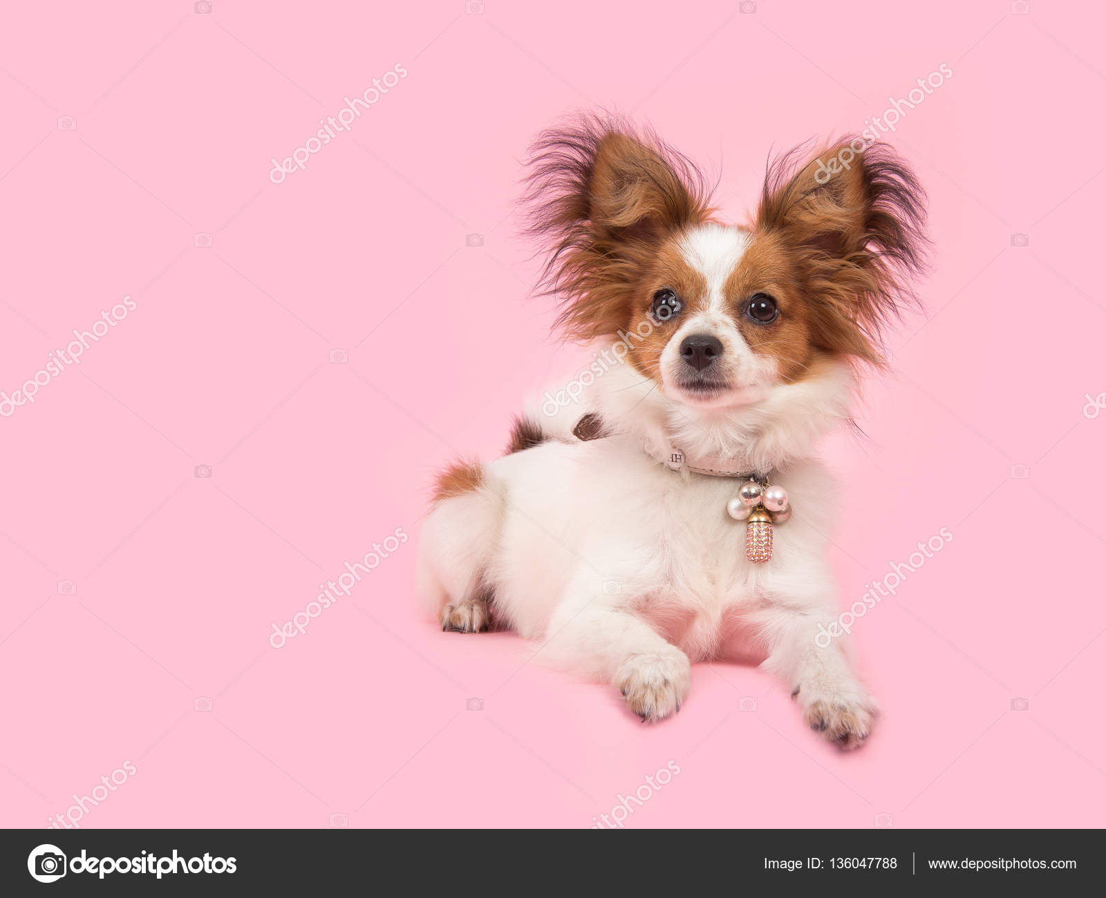 Great Papillon Canine Adorable Dog - depositphotos_136047788-stock-photo-lying-down-cute-papillon-dog  2018_797891  .jpg